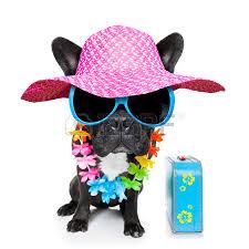 shades on pug dog