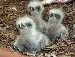 eaglets trio