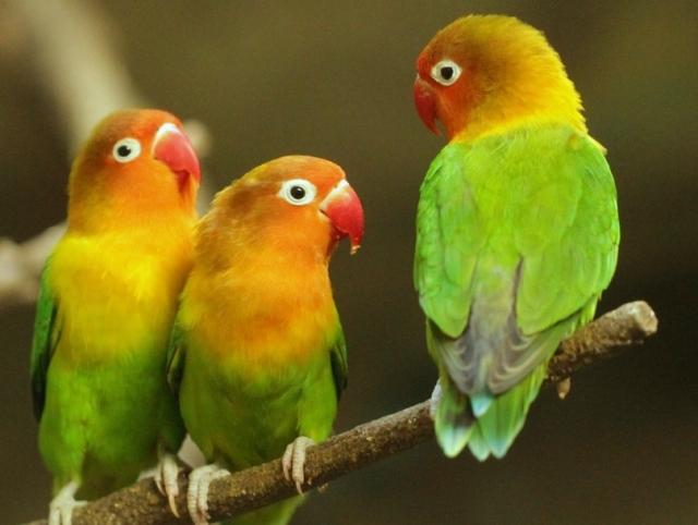 lovebirds-wikimedia-commons