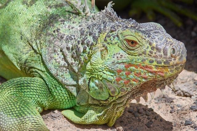 iguana psoriasis pixabay
