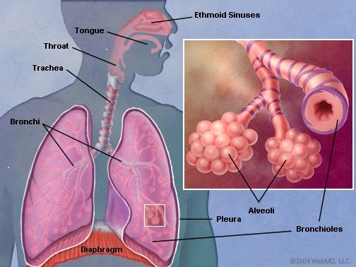 Lungs_Anatomy Wikimedia