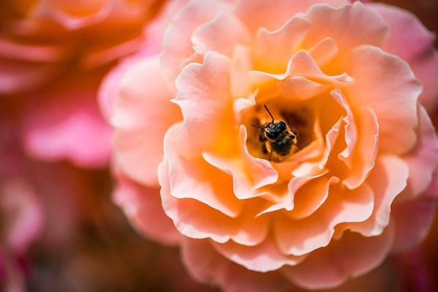 Bee_in_flower Wikimedia Commons by Diana Măceşanu